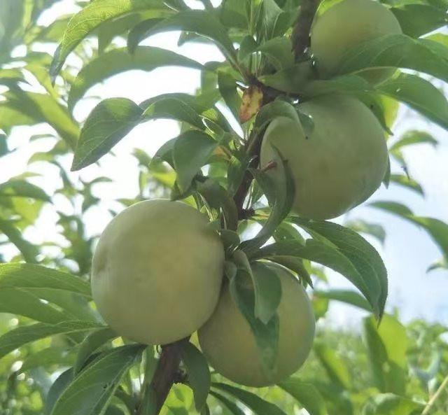 蜂糖李苗,湖南株洲蜂糖李苗基地,脆甜品種李子苗