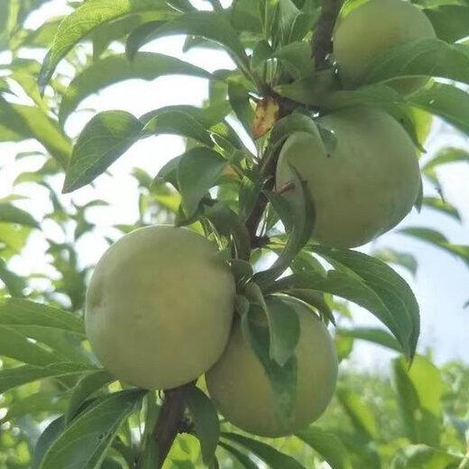 蜂糖李樹苗,廣西河池蜂糖李樹苗批發,李子樹苗根系發達