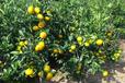 三門蜜桔/橘子/桔子新鮮水果三門產地代辦