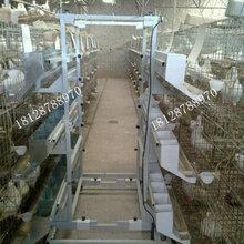 镀锌白鸽笼广东肉鸽笼自动喂料机鸽子笼