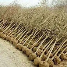 陕西石榴多少钱一株质量优良石榴树苗图片