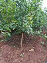 湖北石榴树质量优良石榴树苗图片