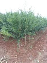 浙江石榴盆景石榴树苗质量优良图片