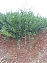 浙江石榴盆景质量优良石榴树苗图片
