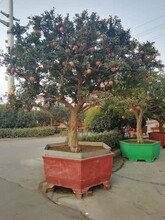 安徽石榴种植基地石榴树苗质量优良图片