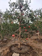 安徽石榴种植方法质量优良石榴树苗图片