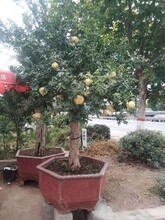 河北石榴种植基地石榴树苗质量优良图片