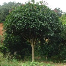 南昌桂花树基地直销种植基地