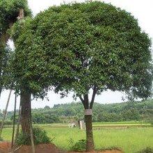 赣州批发桂花树种植基地