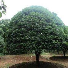 柳州桂花树基地直销种植基地
