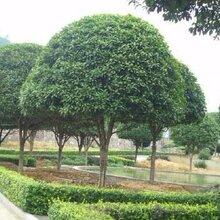 昆明桂花树哪里有卖种植基地
