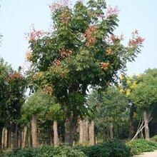 云南栾树哪里有卖种植基地