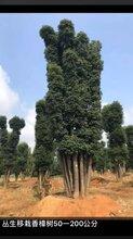 江西香樟树基地批发种植基地
