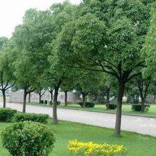 桂林香樟树批发价格种植基地