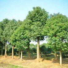 江西香樟树基地供应种植基地