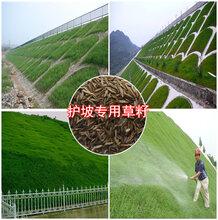 河堤护坡草籽种子批发价格