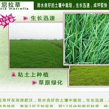 草坪型黑麦草种子什么价格