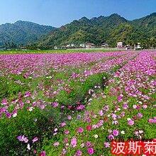 美丽乡村专用花海种子有哪些品种