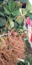 重庆供应草莓苗报价种植基地