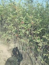 山东花椒苗木种植基地
