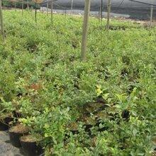青海蓝莓苗种植基地图片