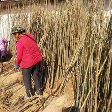 河南哪里有香椿苗供货商基地批发