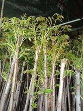 山东香椿苗木