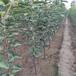 重慶1年生蘋果苗畝栽棵數