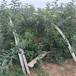 上海品種蘋果苗一株價格