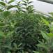 常德3公分苹果苗品种苗