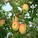 重慶5公分蘋果苗一棵價格