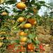 郑州梨树苗种植