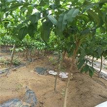 矮化路梨苹果销售苹果苗