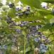 80公分高蓝莓苗技术出售蓝莓苗价格
