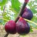 江西3公分無花果苗種植與管理