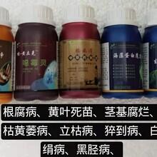 广州省治疗香蕉巴拿马病根腐病用什么效果好图片