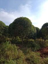 濮阳桂花树多少钱品种齐全图片