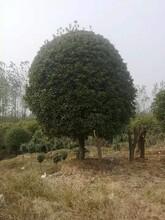 遵义桂花树多少钱品种齐全桂花树苗图片