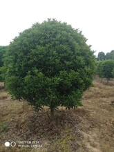 南昌桂花树哪里有卖桂花树苗现货供应图片