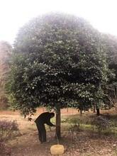 郑州桂花树哪家好桂花树苗图片