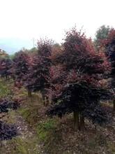 开封红花继木造型基地批发优质红花继木图片
