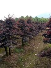 十堰红花继木造型基地批发现货批发优质红花继木图片
