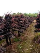 三门峡红花继木造型品种优良现货批发优质红花继木图片