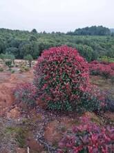 新乡红叶石楠多少钱现货批发优质红叶石楠图片