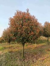 鹤壁红叶石楠种植地现货批发优质红叶石楠图片