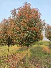 安阳红叶石楠品种引见劣秀红叶石楠现货批发图片