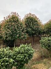 六盘水红叶石楠品种优良现货批发图片
