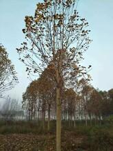 萍乡马褂木种植地现货供应优质马褂木图片