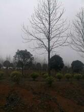 开封马褂木种植地优质马褂木现货供应图片