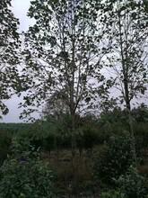 吉安马褂木哪家好现货供应优质马褂木图片
